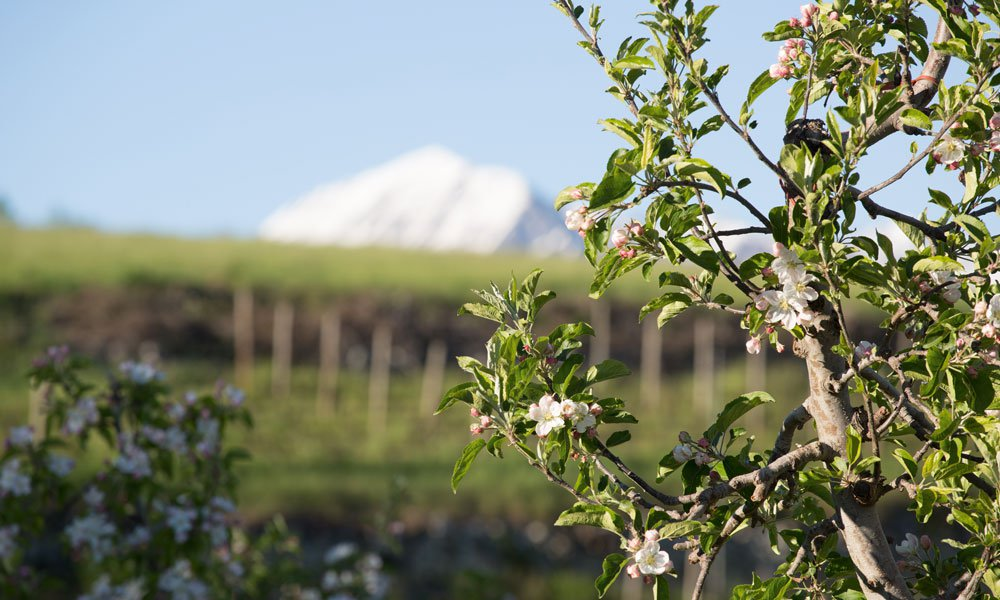 Run through blooming apple orchards